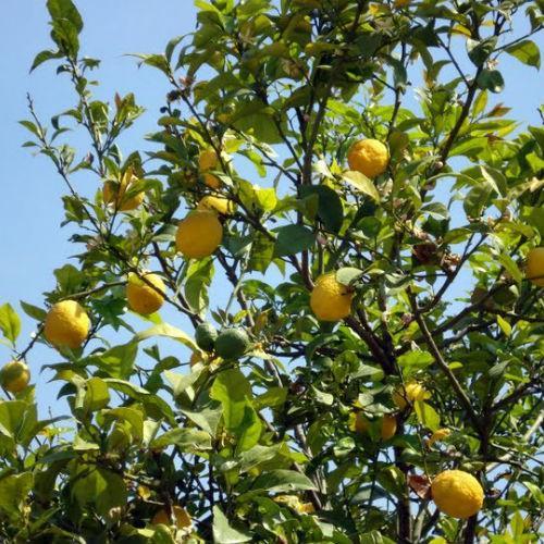 corfu citrus
